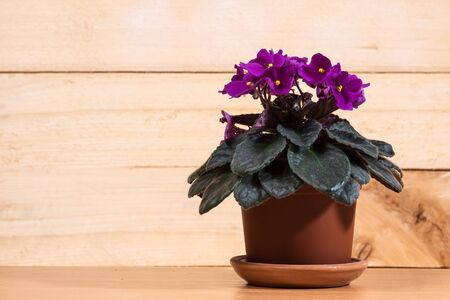 beautiful blooming violet flowers in a pot on a wooden wall background 免版税图像 - 130145285