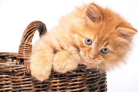 beautiful little kitten with blue eyes in a wicker basket on a white background 版權商用圖片