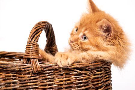 beautiful little kitten with blue eyes in a wicker basket on a white background 版權商用圖片 - 139437060