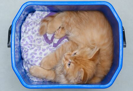 beautiful young ginger cat lies in a plastic bucket 版權商用圖片 - 139437000