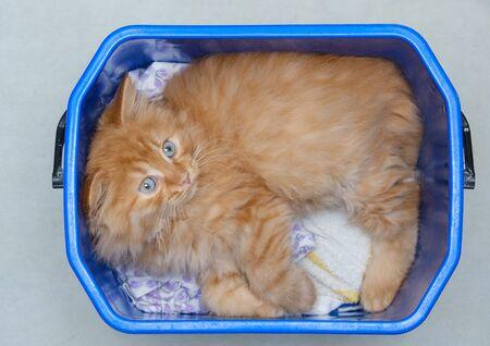 beautiful young ginger cat lies in a plastic bucket 版權商用圖片