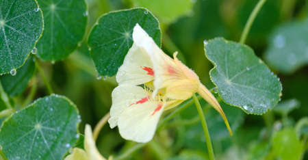beautiful yellow blooming nasturtium and green leaves with dew