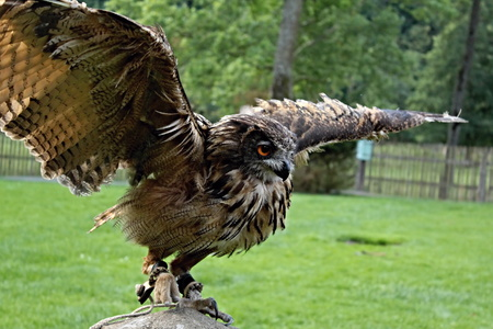 spread wings: Picture of a trained owls with spread wings on a concrete pillar. Stock Photo