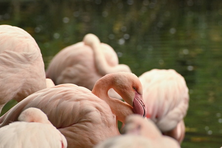 Detailed picture of a flamingo head small.