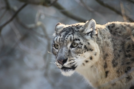 undomestic: Face ounce. Snow leopard in forest. Panthera is staring. Endangered animal write in IUCN Red List of Threatened Species. Stock Photo