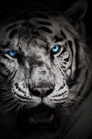 Biały tygrys lub bielony tygrys z niebieskimi oczami. Pigmentacja biała wariant tygrys.