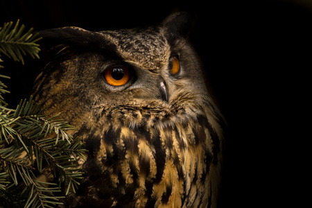Portrait eurasian eagle-owl. Night bird from nature. Big owl is looking for you. Reklamní fotografie
