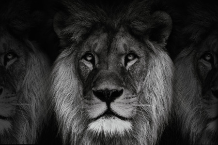 Black and white three lions. Dominant lion, king of animal. Black and white portrait lion.