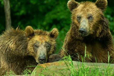 Two brown, grizzly bears. Female bear with young bears.