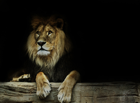 felid: Postcard with lion. Super wallpaper with lion.Dominant lion, king of animal.  Stock Photo