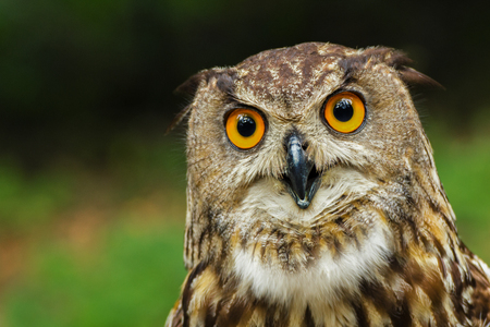 Curious  European eagle-owl with big yellow eyes.   European eagle-owl, bubo bubo.