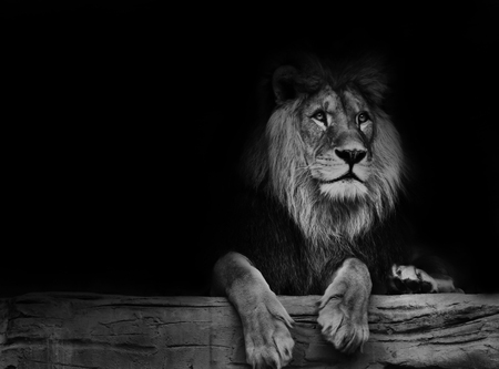 Beautiful lion with black backround. Black and white poster lion. Banco de Imagens