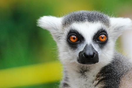 Portrait lemur - monkey from madagaskar.