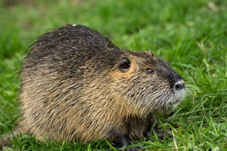 Natural nutria in grass Stock Photo