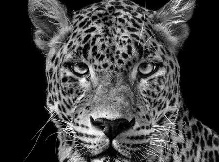 Portrait leopard (Panthera pardus kotiya). Black and white Ceylon leopard.