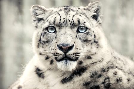 Snow leopard, special mountain predator.