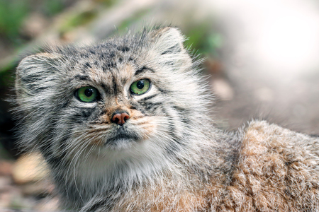 Cat Manul with green eyes and lights
