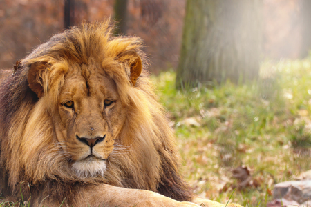 Lion in forest with sun shine. Stock fotó