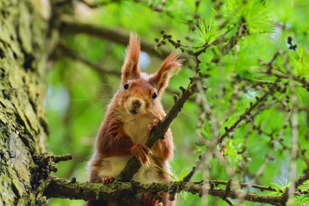 Little curious squirrel in a tree larch tree Stock Photo