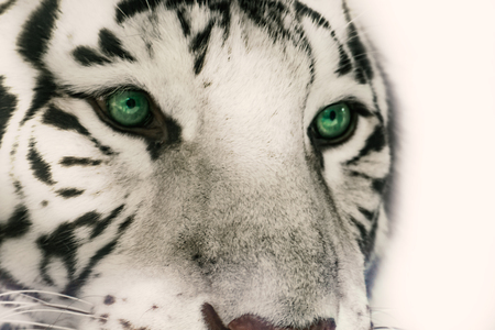 Head white tiger with significant green eyes Banco de Imagens