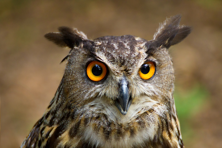 Owls are birds, whic live in night. Owls hunt mostly small mammals, insects, and other birds. 스톡 콘텐츠