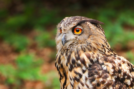 Owls are birds from the order Strigiformes, which includes about 200 species of mostly solitary and nocturnal birds. Owls hunt mostly small mammals, insects, and other birds. 스톡 콘텐츠