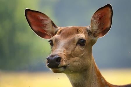 Roe deer doe, Capreolus capreolus. Face deer doe female with blur background.
