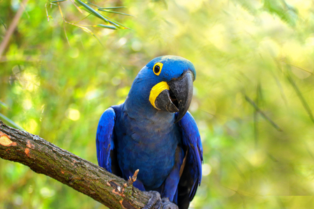 Big blue parrot Ara Hyacinth Macaw, Anodorhynchus hyacinthinus, blue king green Amazon on the green background. Photo of the animal world.
