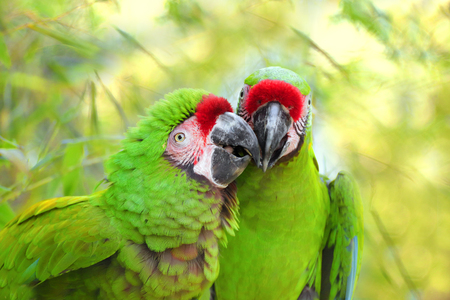 Pair great green military macaw (Ara militaris mexicana) portrait. Live in south america. Popular green military parrot on the green, nature background. Photo of the animal world.