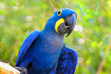 Duża niebieska papuga Ara Hiacynt Ara, Anodorhynchus hyacinthinus, niebieski król zielony Amazon na zielonym tle. Zdjęcie świata zwierząt. Parrot Ara Hiacynt ara na zielonym tle.