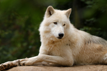 Profile of an artistic wolf in nature. White Wolf. Photo of the animal world. Arctic wolf in nature. Banco de Imagens