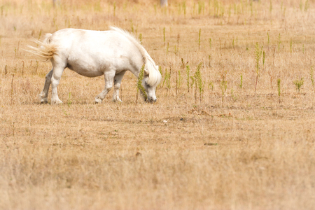 Small white pony on pasture. Portrait from animal?s world. Small white pony on pasture.