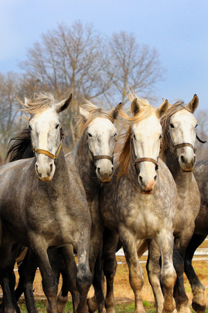 Four horses are in motion. Photo from animal´s world. Photo from ridding world.