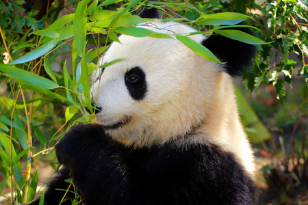Portrait from animal s world. Giant Panda with bamboo.