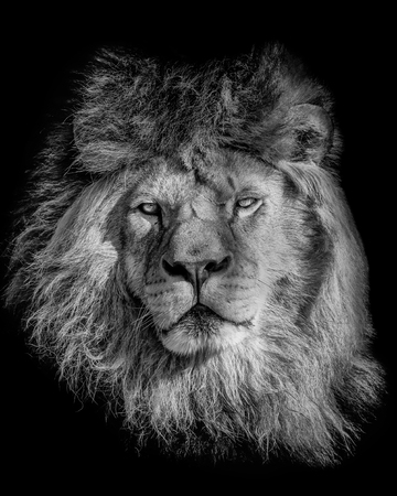 Black and white poster lion. Portrait from animal´s world. Symbol for dominant leader.