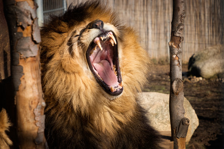 Lion living in captivity. Lion with open mouth. Wild undomestic feline.
