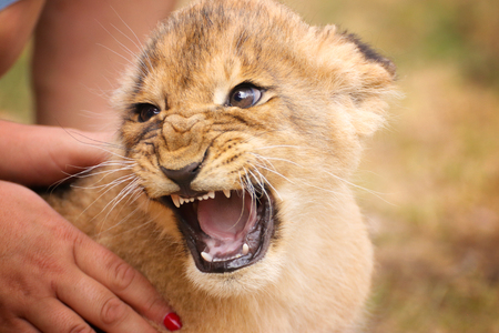 Baby lion in hand with open mouth. Portrait from animal´s world. Baby lion livin in captivity