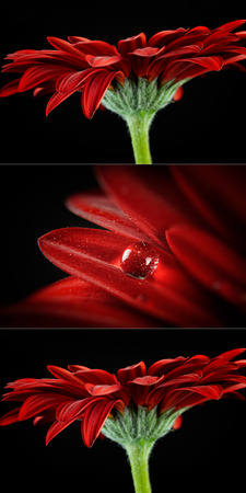 Three picture red gerber. Detail photo flower. Macro photo with drop. Stock fotó