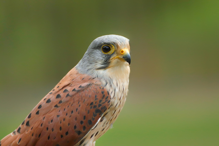Portrait kestrel with blur green backgroun. Photo froma animal live. Stock fotó