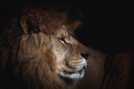 Leeuw in het zwart. Foto uit de dierenwereld. Poster detail gezicht leeuw.