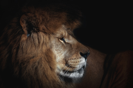 LIon in black. Photo from animal world. Poster detail face lion. Stock fotó