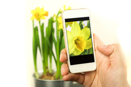 Phone in hand and take a photo flower. Making photos by phone. Making photos flower. Making photo narcis, narcissus. Stock fotó