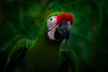 Smiling parrot on a dark green background. A military macaw (Ara militaris).