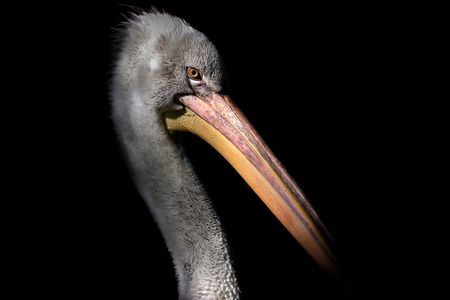 Young grey pelican on black background. Photo from animal live.