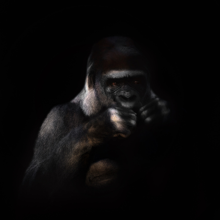 Gorilla on the black background. Photo from animal world. Stock fotó