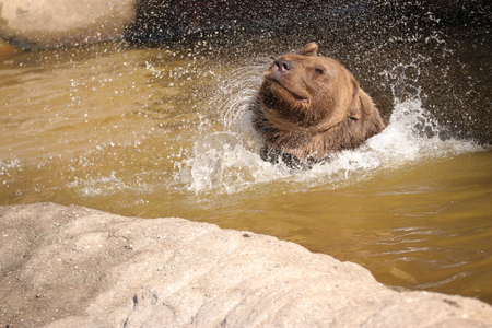 Funny bear in water. Photo from animal live