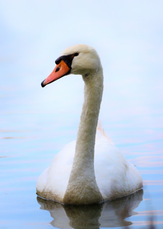 One swan on the water. Photo from animal world. Stock fotó