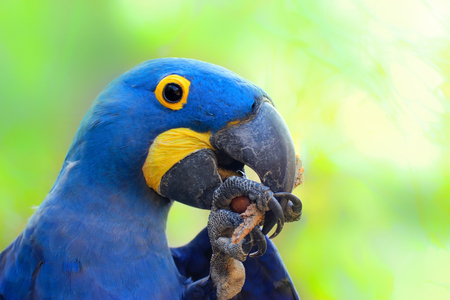 Detail parrot ara hyacinth. Detail face blue parrot from Brazil.