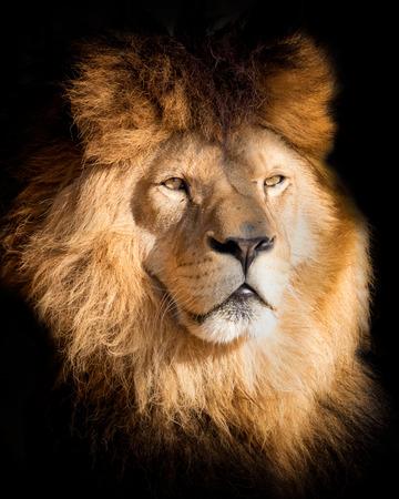 Detalle retrato león en negro. Póster león en alta calidad. Popular un animal en peligro de extinción.