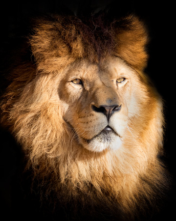 Leone ritratto di dettaglio in nero. Leone poster in alta qualità. Popolare un animale in via di estinzione.